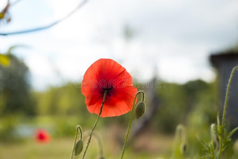 Memory red poppy symbol one round flower  in the centre stock photography