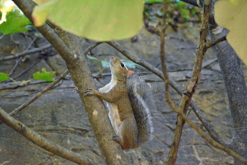 Memphis Zoo - écureuil vers le haut de l'arbre image libre de droits