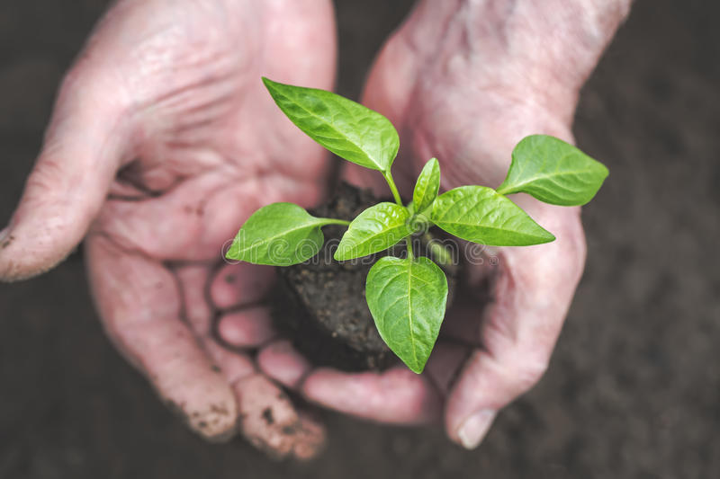 Men hand are planting the seedling into the soil royalty free stock image