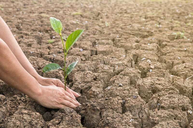 Men hands plant trees on dry areas. The soil is broken in the hot air.  stock photo