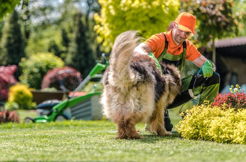 Men Having Fun with His Dog. German Shepherd and Caucasian Male in His 30s stock image