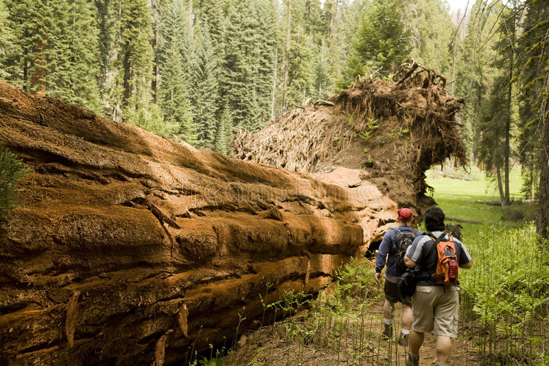 Men Hiking Along Fallen Redwood Tree. In Sequoia National Park stock images