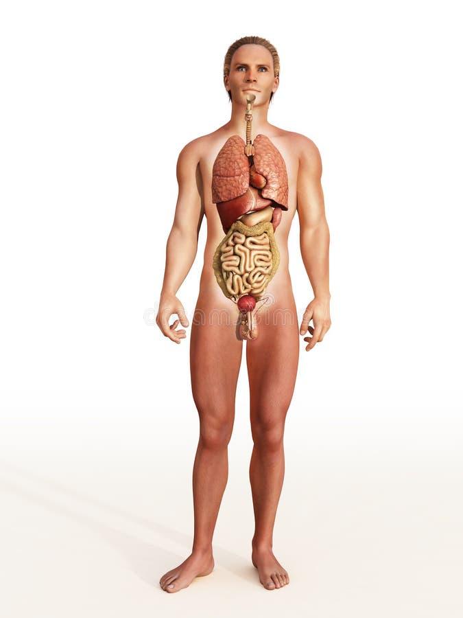 Men's internal organs. On white stock images