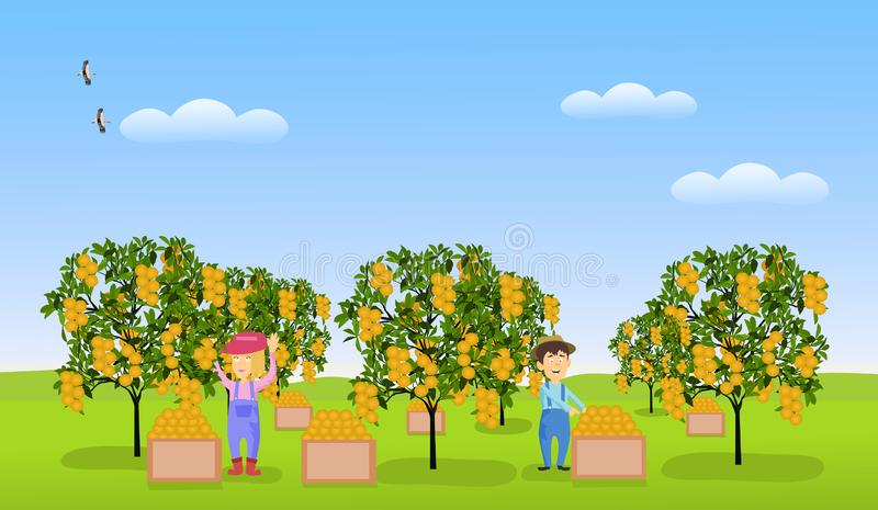 Men and women gardeners are collecting citrus fruits in an orange garden on green grass. With a sky as the background vector illustration