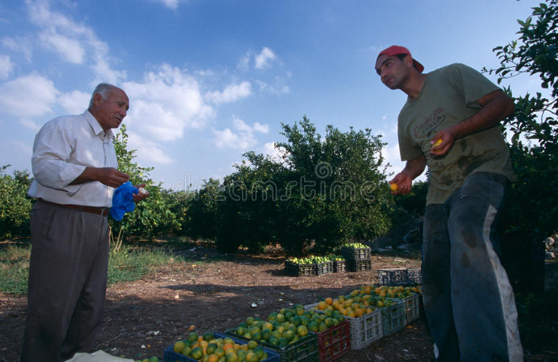 Men working in an orange grove, Palestine stock images