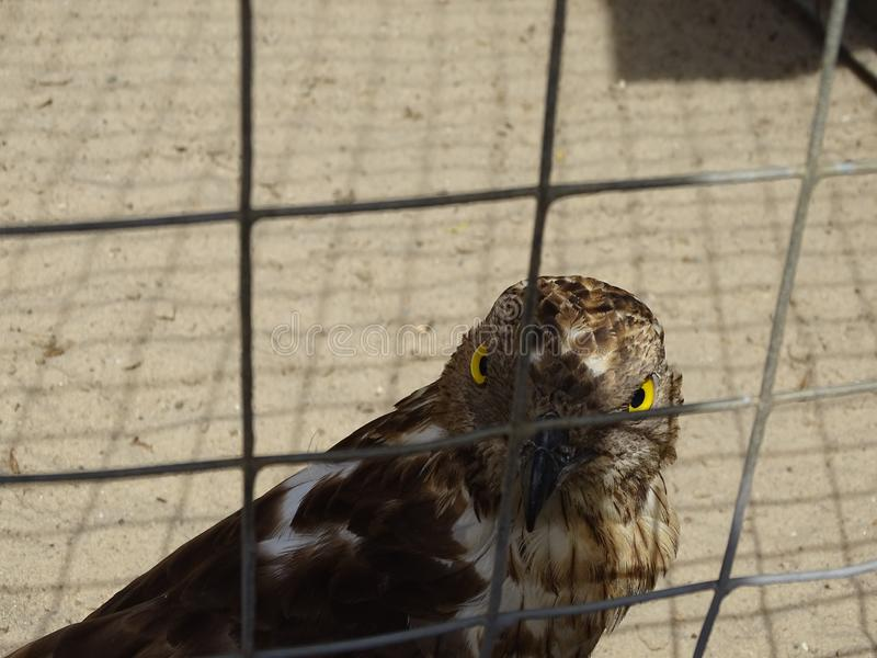 The menacing look of a Falcon. The fearsome look of a Falcon from behind bars at the zoo.Yellow eyes of a Falcon.Bird behind bars.The piercing gaze of a bird of stock photo
