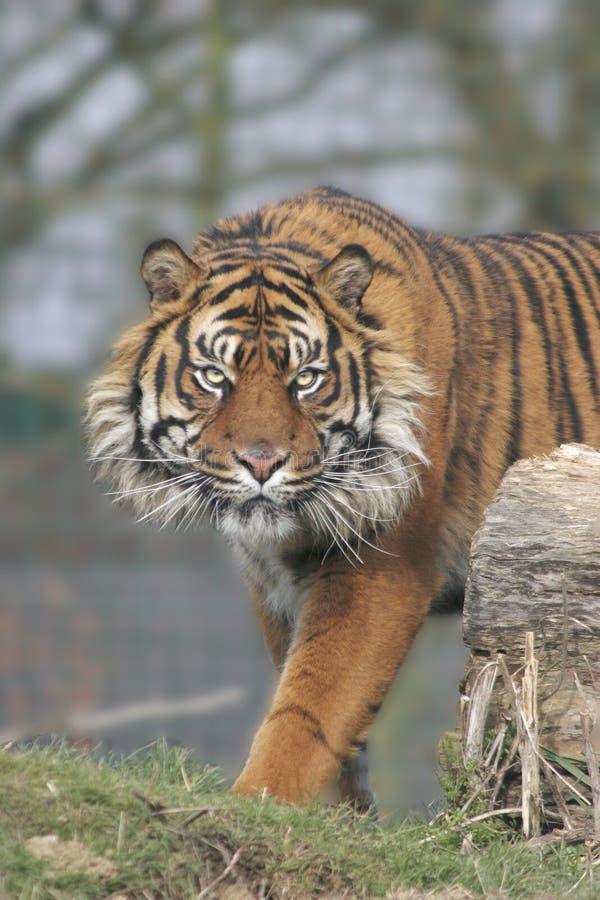 Menacing Tiger stock photos