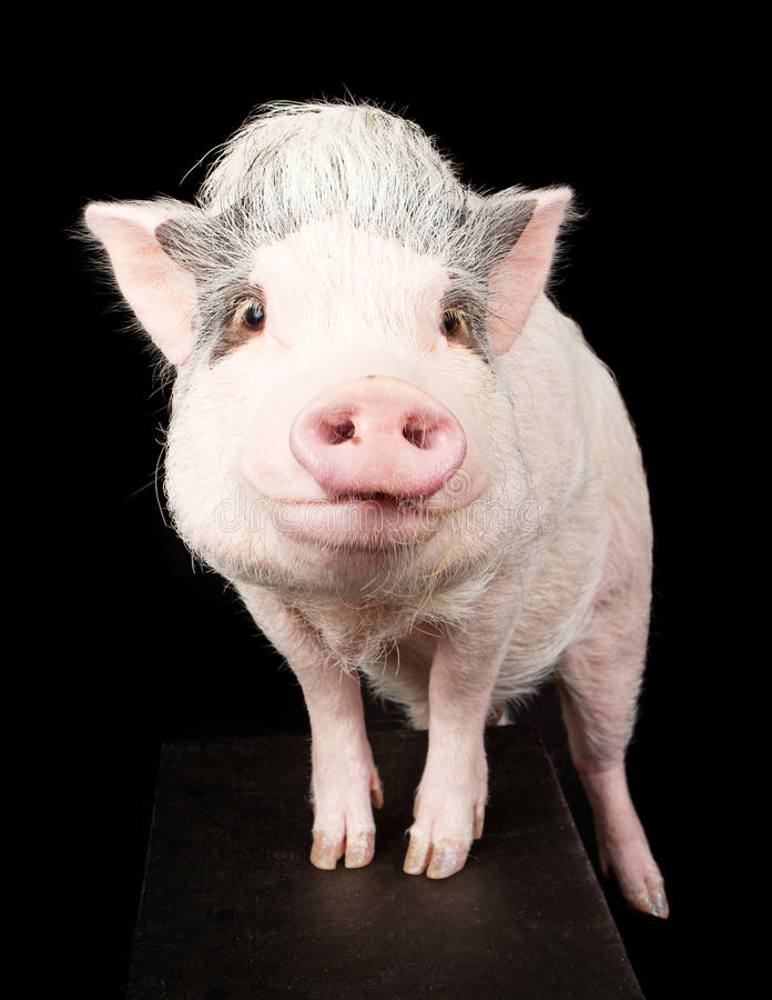 Menchia Bellied świnia zdjęcia royalty free