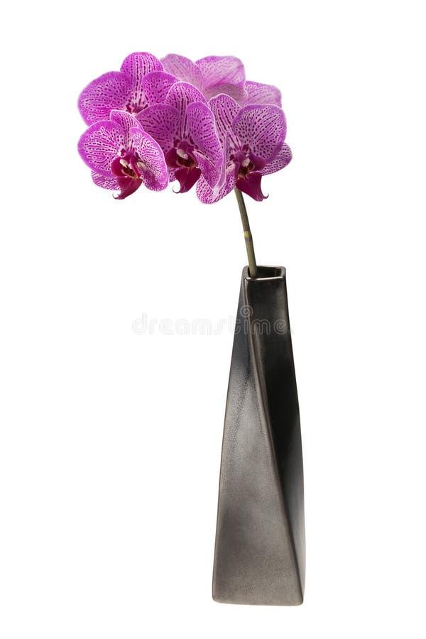 Menchia dostrzegająca orchidea kwitnie w ceramicznej wazie fotografia stock