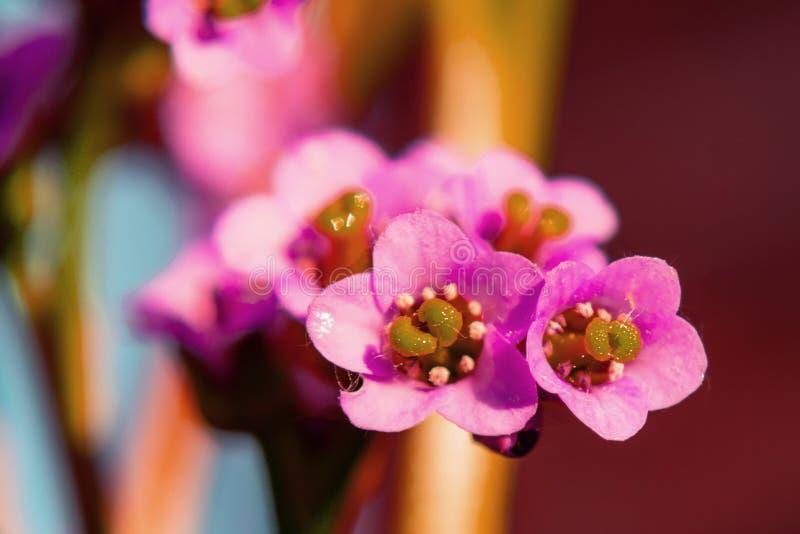 Menchia kwiaty Bergenia crassifolia, zako?czenie w g?r? obrazy royalty free