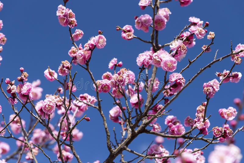 Menchia kwiaty Czereśniowy Śliwkowy drzewo lub Ume w japończyku, Japan kwiat, piękna pojęcie, Japoński zdroju pojęcie obrazy stock
