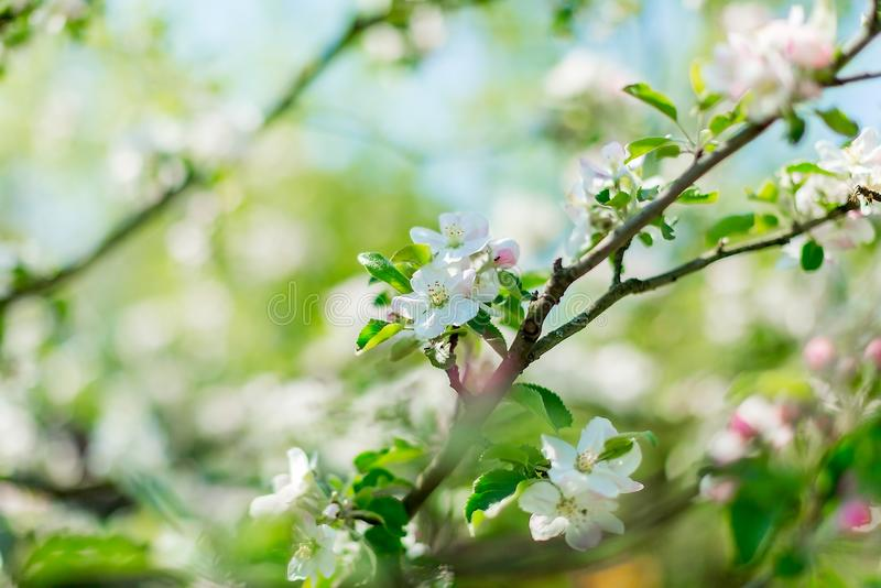 Menchia kwiaty jabłoń z zamazanym tłem Natury scena Wiosna kwitnie na Wielkanocnym słonecznym dniu Selekcyjna ostrość obrazy stock
