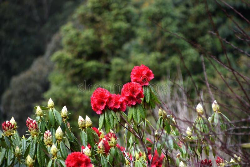 Menchia kwiaty - kamelia zdjęcia royalty free