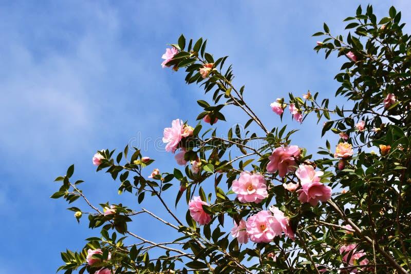 Menchia kwiaty - kamelia zdjęcia stock