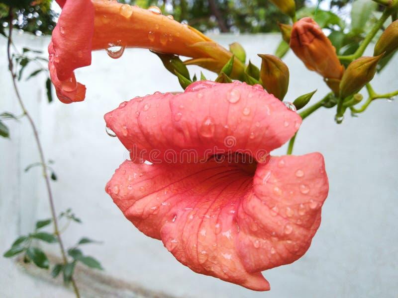 Menchia kwiaty na deszczowym dniu patrzeją pięknymi obrazy stock
