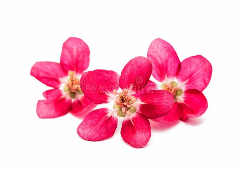 menchia kwiaty odizolowywający jabłko zdjęcie royalty free
