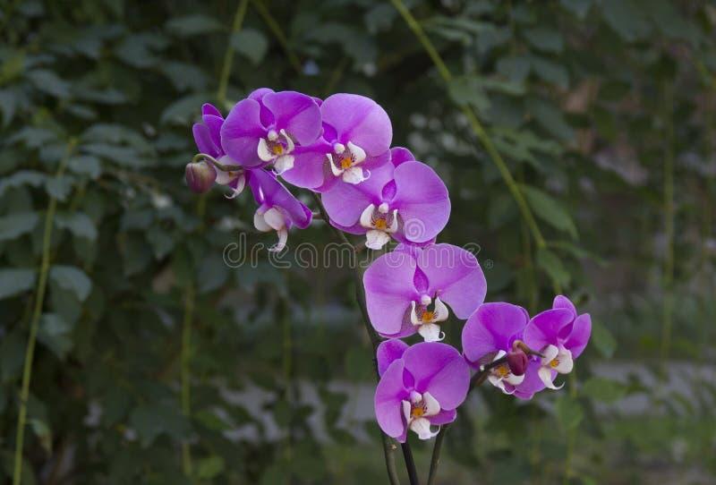 Menchia kwiaty phalaenopsis orchidea obraz stock