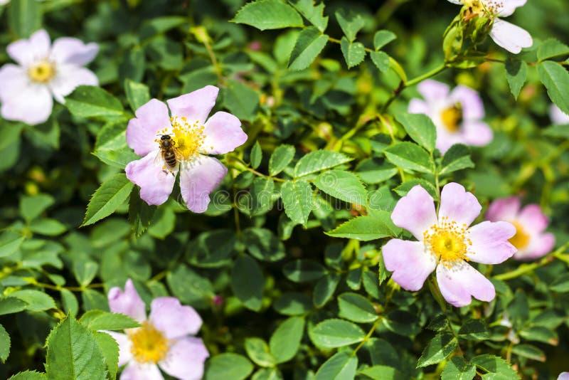 Menchia kwiaty róży i pszczoły zbieracki nektar na mnie zdjęcia royalty free