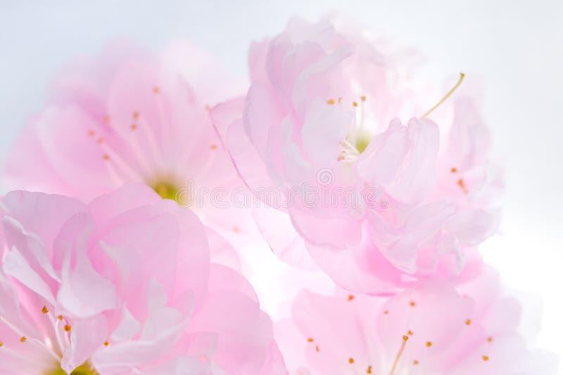 Menchia kwiaty Sakura tło obraz royalty free