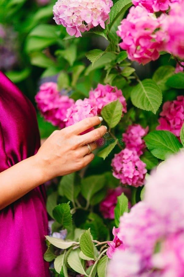 Menchia kwitnie hortensje w żeńskich rękach Wielcy hortensja krzaki zdjęcie royalty free