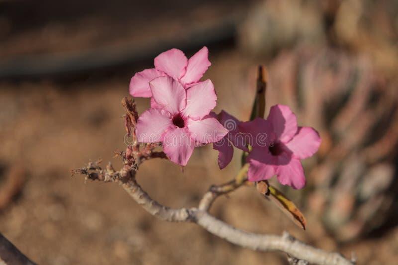 Menchia kwitnie na Adenium obesum swazicum obrazy stock