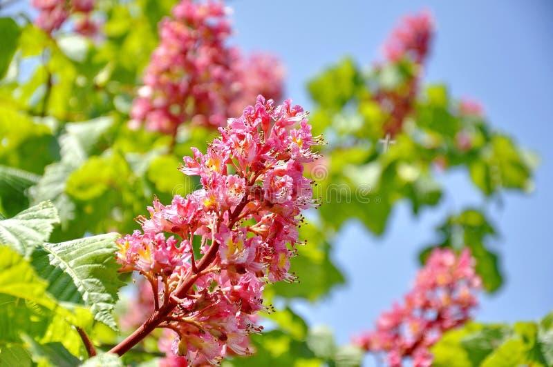 Menchia kwitnie na czerwonym kasztanowcowatym drzewie obrazy royalty free