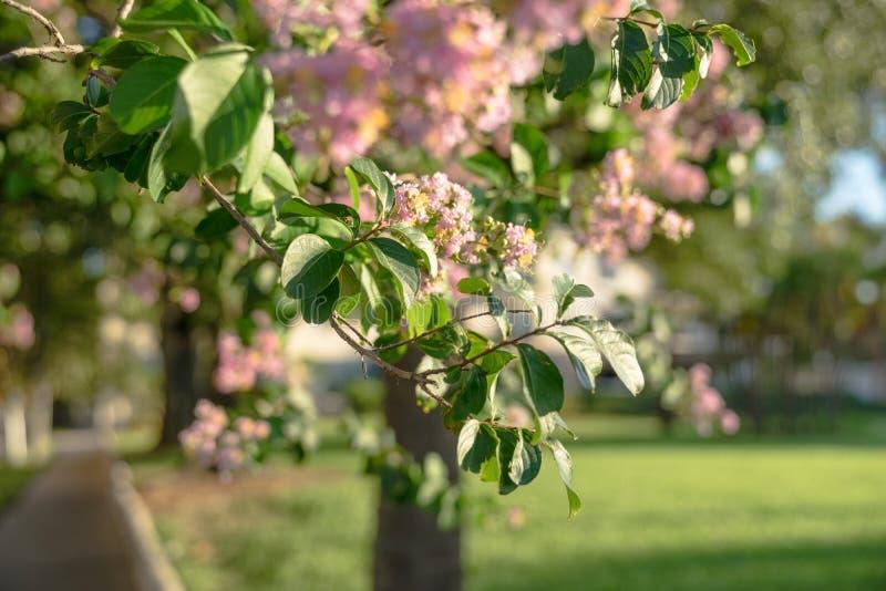 Menchia kwitnie na drzewie w kwiacie zdjęcia royalty free