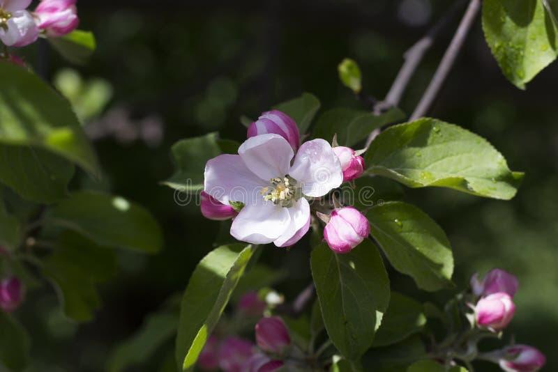 Menchia kwitnie na gałąź jabłoń w ogródzie fotografia stock
