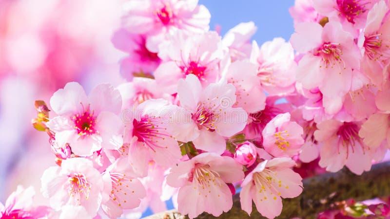 Menchia kwitnie na gałąź z niebieskim niebem podczas wiosny kwitnienia Gałąź z różowymi Sakura okwitnięciami i niebieskiego nieba obrazy royalty free