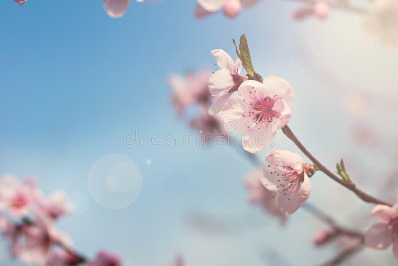 menchia kwitnie na gałązce kwiatonośnego drzewa wiosny tło zdjęcia stock