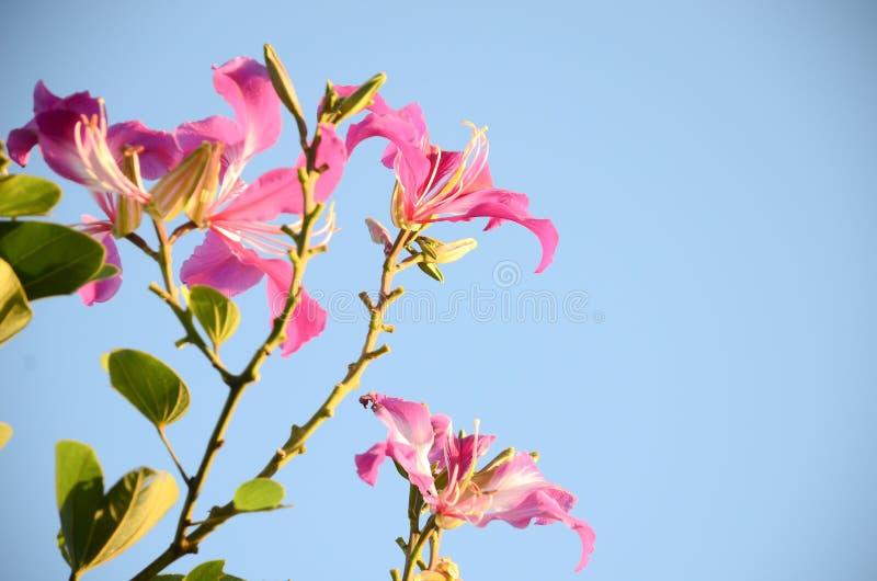 Download Menchia Kwitnie Na Pięknym Bokeh Obraz Stock - Obraz złożonej z soft, okwitnięcie: 53782145