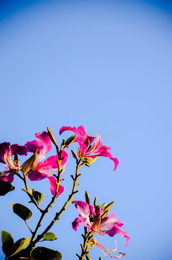 Download Menchia Kwitnie Na Pięknym Bokeh Zdjęcie Stock - Obraz złożonej z delikatnie, naturalny: 53782160