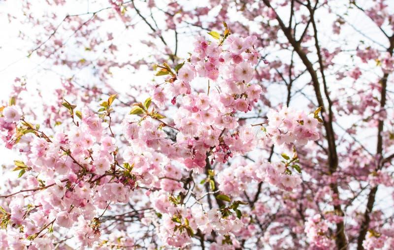 Menchia kwitnie na różaneczniku obraz stock