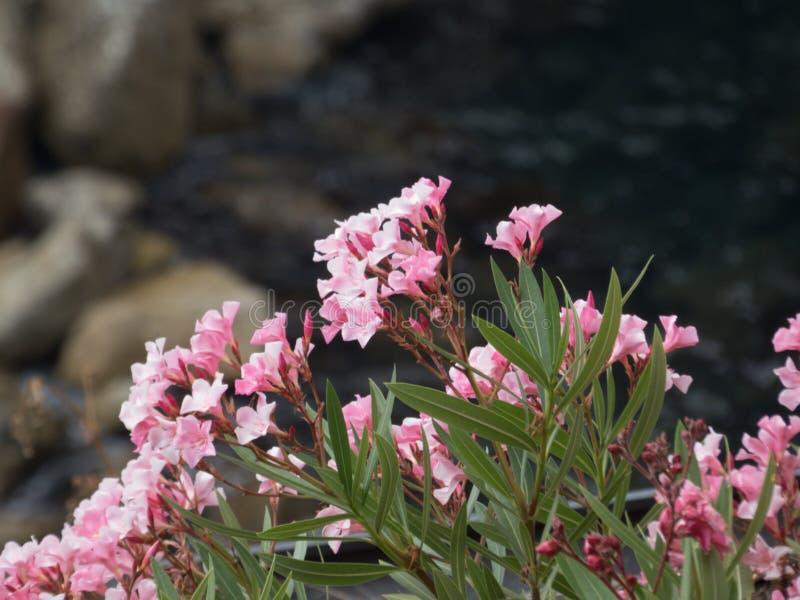 Menchia kwitnie na Włoskich skałach obrazy royalty free