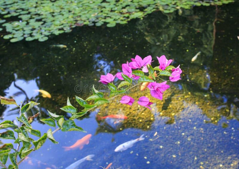 Menchia kwitnie nad wodą obraz royalty free