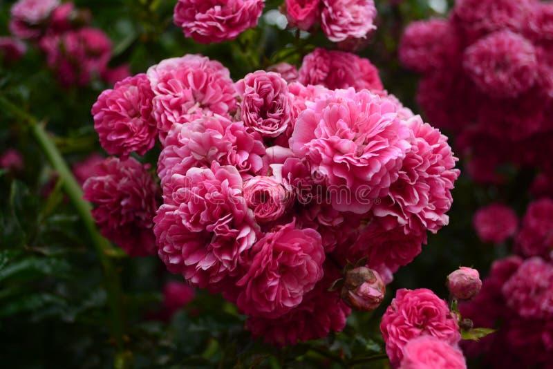Menchia kwitnie w naturze zdjęcia stock