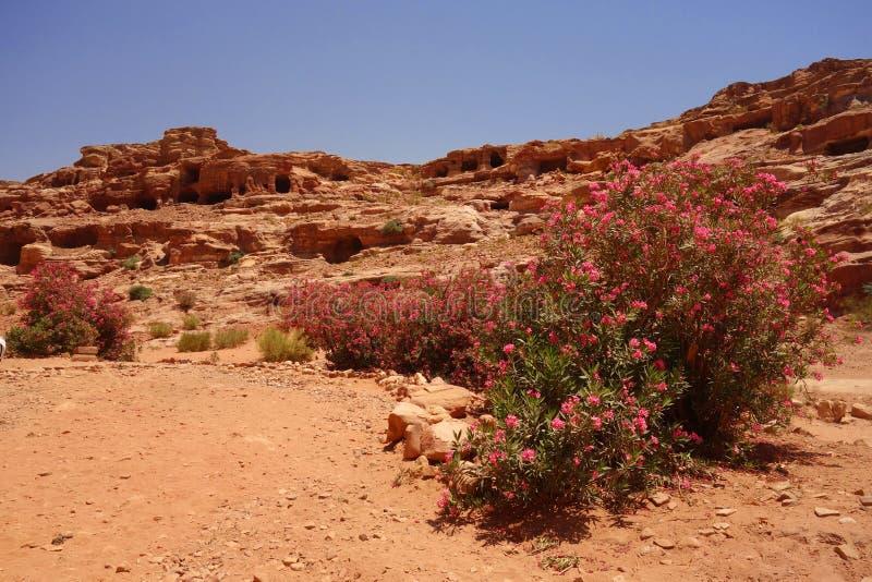 Menchia kwitnie w Petra Jordania fotografia stock