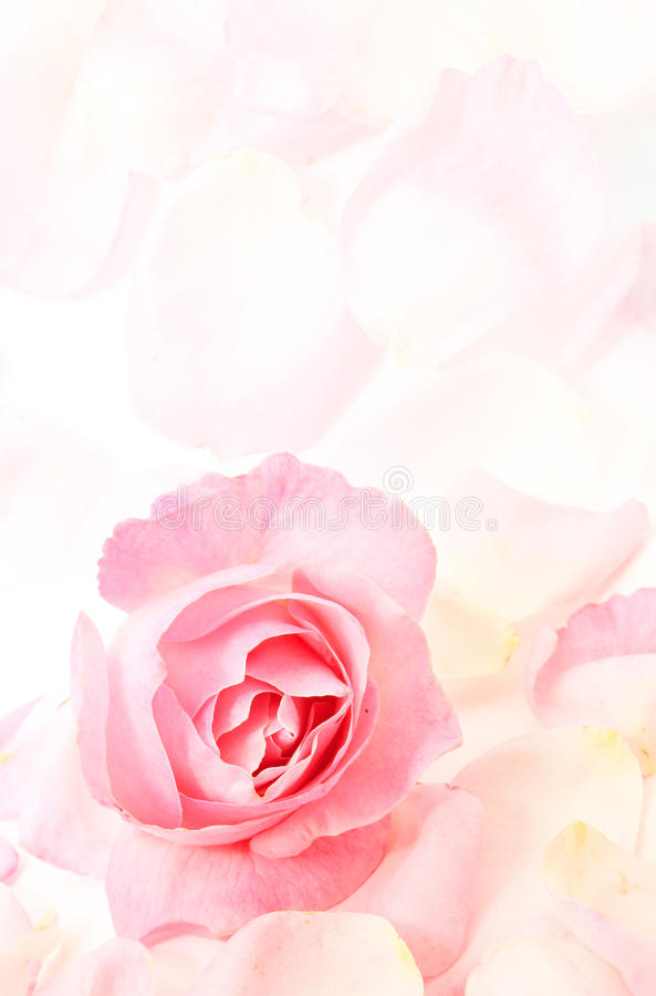 Menchia płatki i róża zdjęcia stock