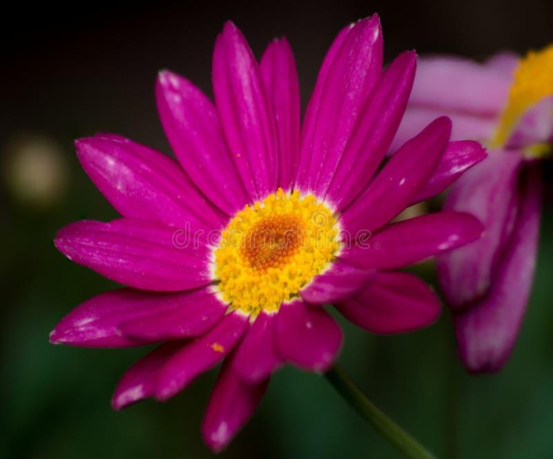 Menchia, purpurowy dzikiego kwiatu zbliżenie, makro-, zieleń z powrotem gruntuje obrazy stock
