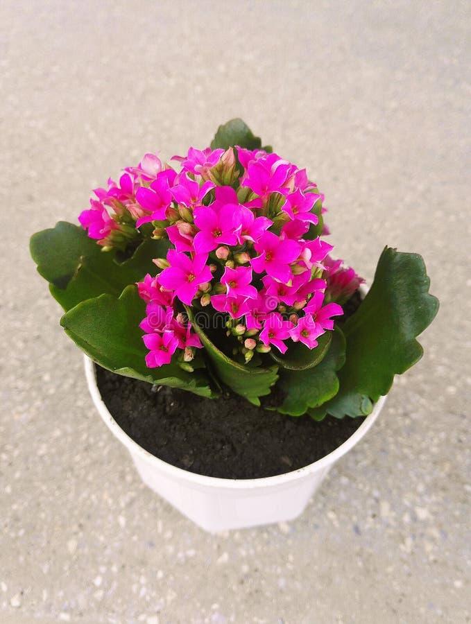 Menchia puszkujący kwiat obrazy royalty free