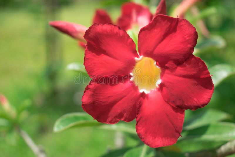 Menchie i Czerwony kwiat w ogródzie, Zamykają up Impala leluja, Różowy Duży obraz royalty free