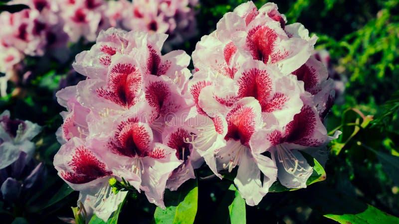 Menchie pięknie kwitnie azalia kwiaty zdjęcie stock