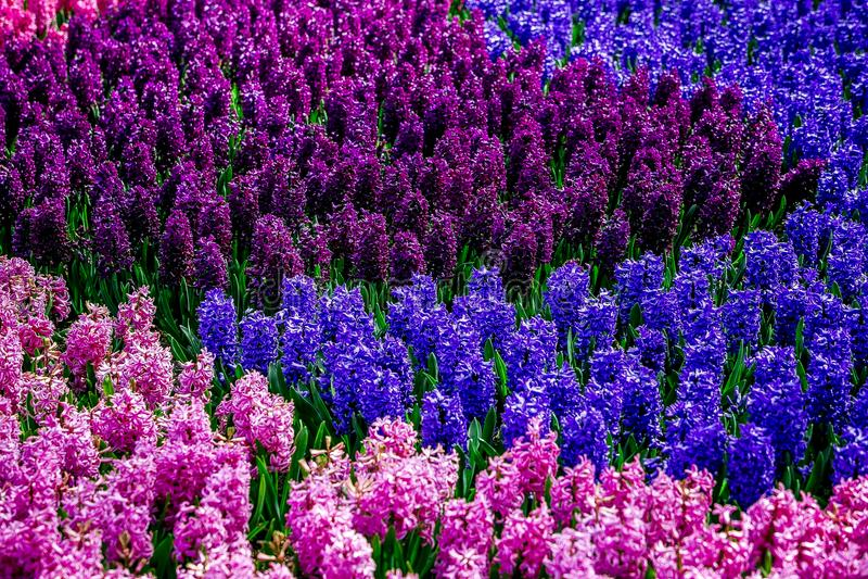 Menchii, błękita i purpur kwiaty w ogródzie od Holandia, zdjęcia royalty free