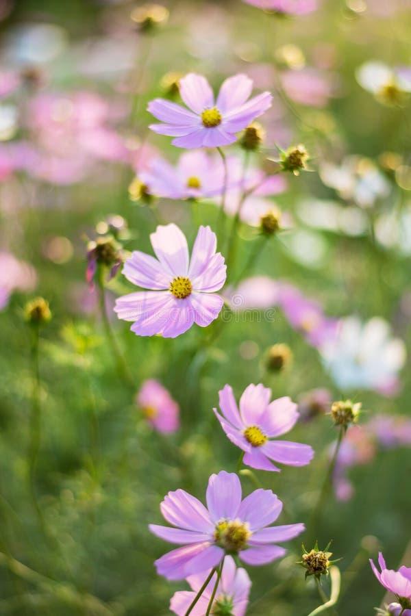Menchii, bielu, purpur i czerwieni kosmosu kwiaty w ogródzie, miękka część f zdjęcia stock