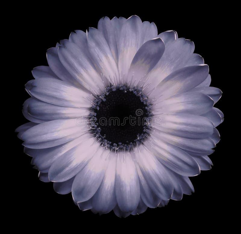 Menchii gerbera kwiatu czerń odizolowywał tło z ścinek ścieżką zbliżenie Żadny cienie Dla projekta fotografia stock