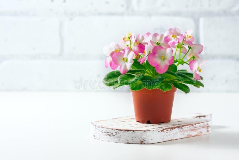 Menchii i Białego Afrykański fiołek w kwiatu garnku na bielu, fotografia stock