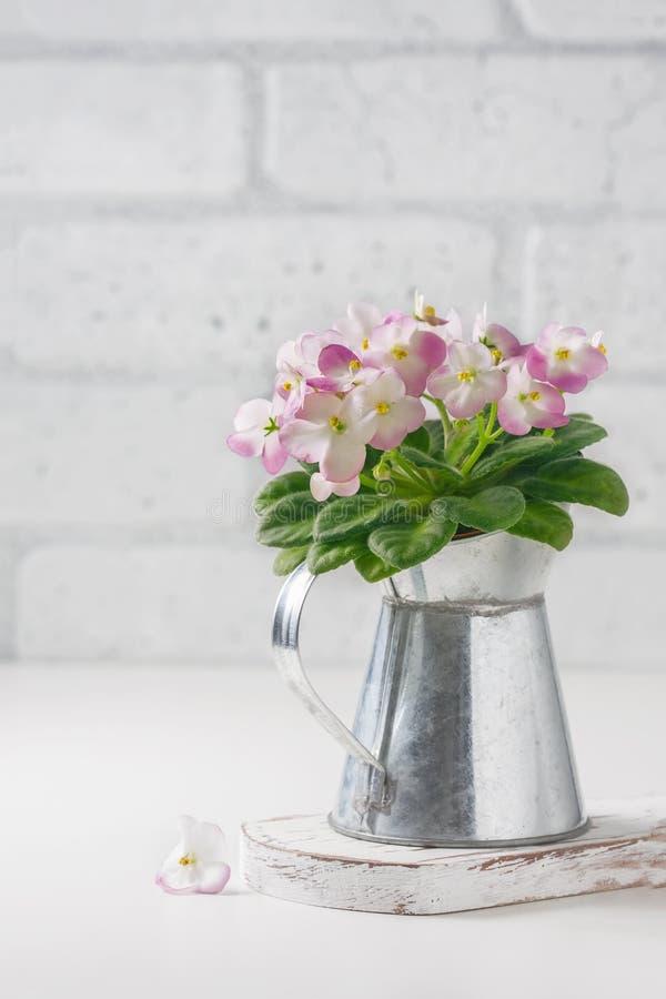 Menchii i Białego Afrykański fiołek w kwiatu garnku na bielu, zdjęcie royalty free