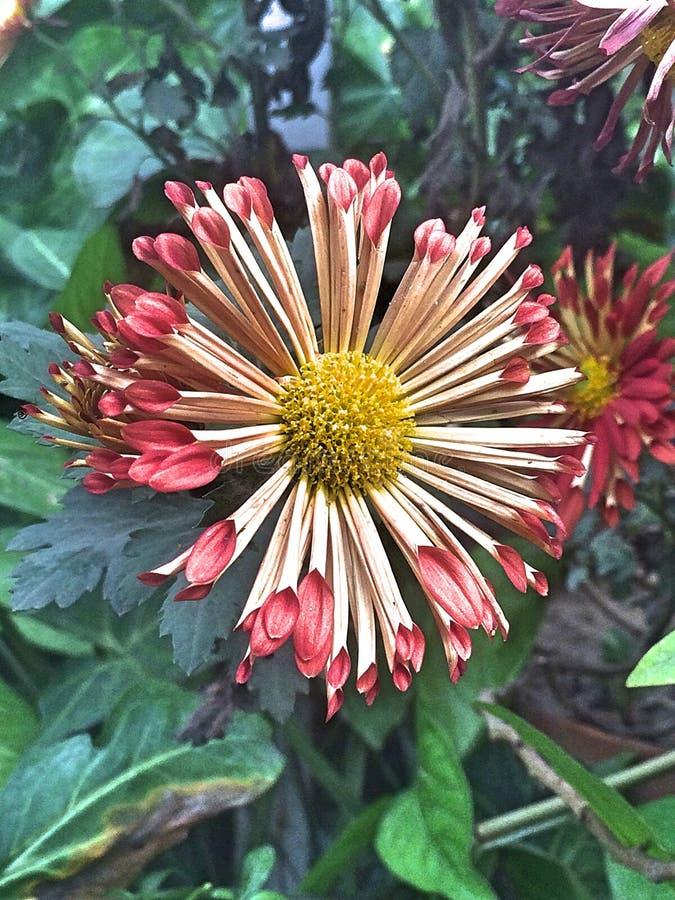 Menchii i białego kwiat obraz stock