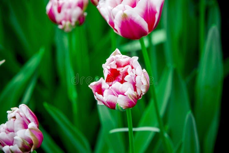 Menchii i białego pełny okwitnięcie tulipan od Holandia zdjęcie stock