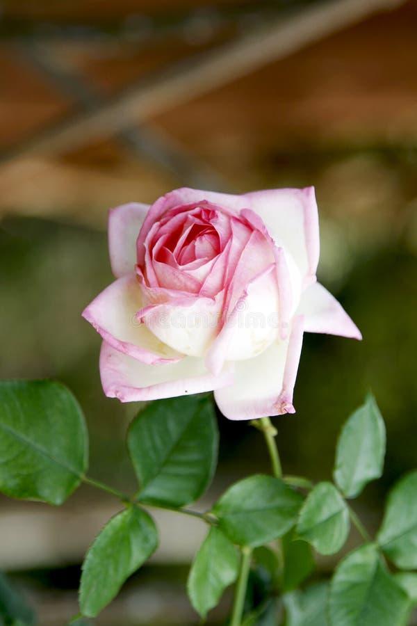 Menchii i bielu róża fotografia stock
